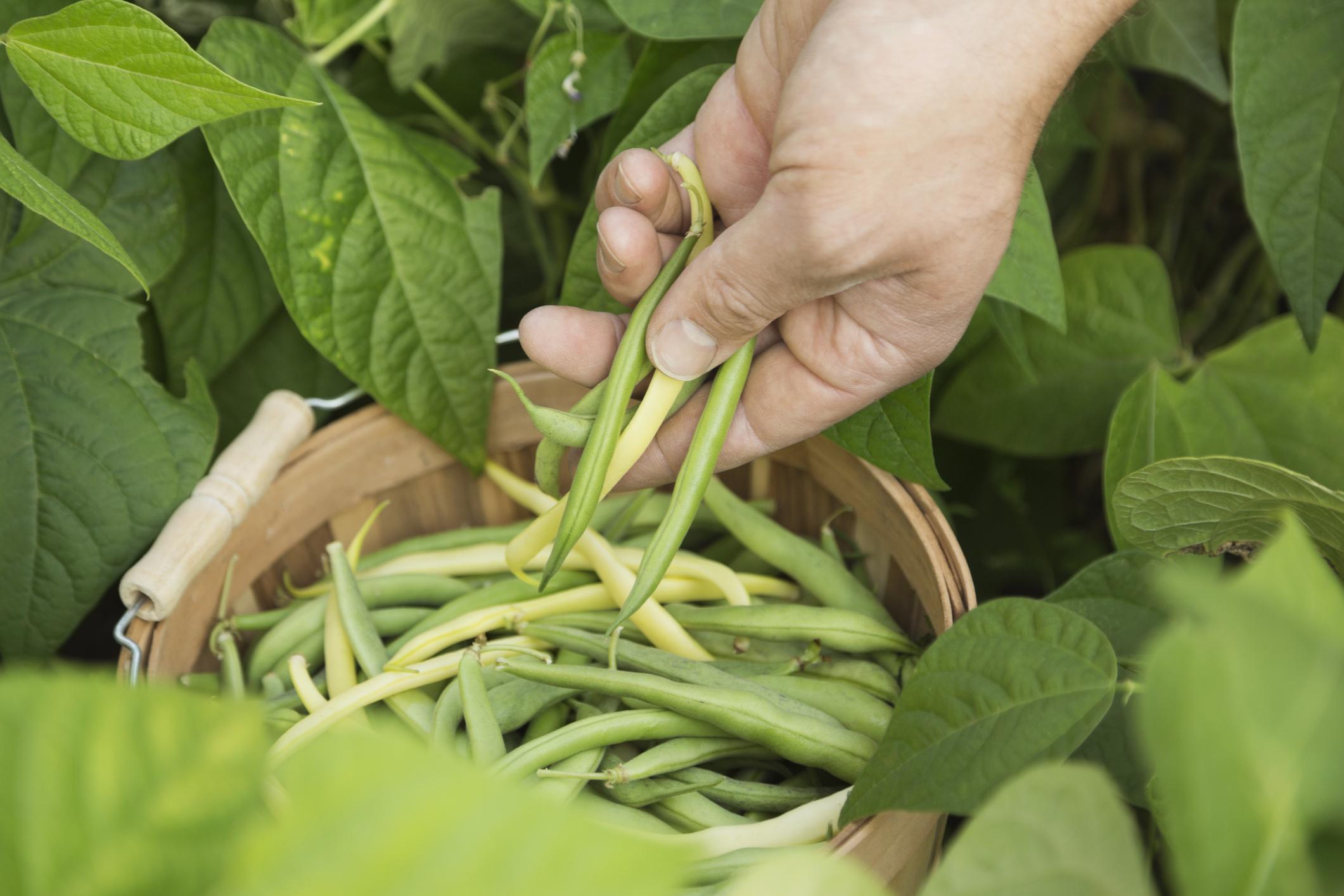 Freshly harvested beans